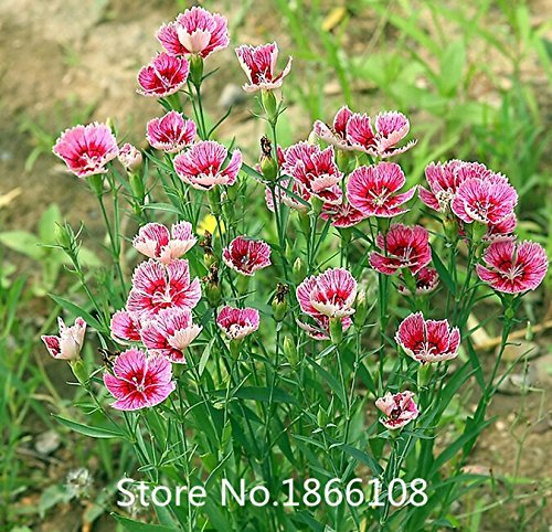 home & garden Promotion! 200 Dianthus Seeds , 16 kinds mixed packed, Sweet William flower, easy to grow ,high germination DIY ga (Grow Sweet William)
