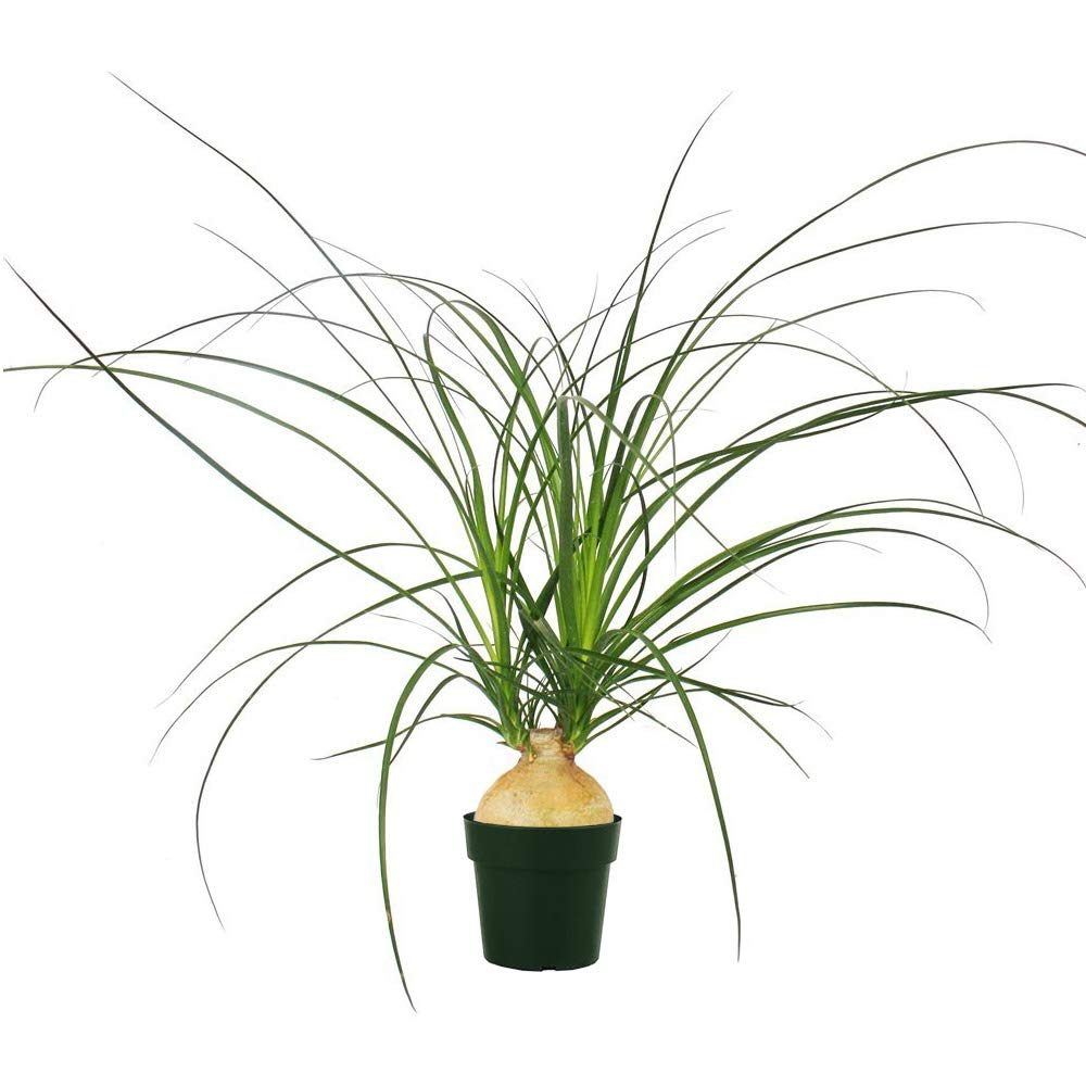 AMERICAN PLANT EXCHANGE Xtra Large Ponytail Palm Elephant Foot Trunk Live Plant, 6'' Pot, Indoor/Outdoor Air Purifier