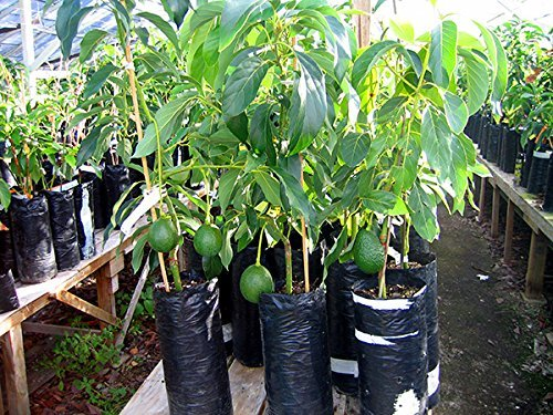 grafted-organic-avocado-aguacate-plant-by-prorganics-will-start-to-produce-in-6-12-months