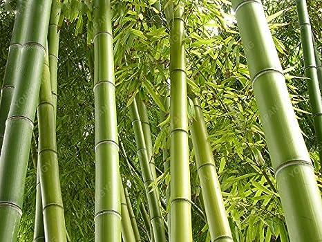 Risultati immagini per MOSO bambù