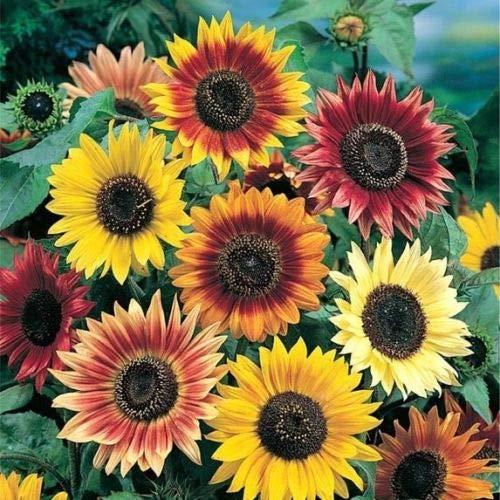 Sunny Sun Power Sunflower Mix, 10 Species, Variety Sizes,