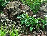 Bucephalandra SP. Wavy Green - Rare Live Aquatic Plant