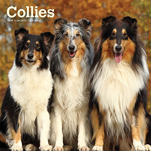 Collies 2019 12 x 12 Inch Monthly Square Wall Calendar, Animals Dog Breeds Collies