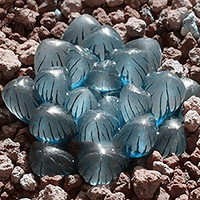 Kasuki Haworthia obtusa 'Crystal' Light Blue Transparent Succulent Bonsai Plants 'Seeds' 5pcs Lovely Indoor Garden Home Bonsai : Garden & Outdoor