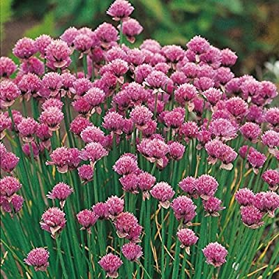 Herb Seeds - Chives - 300 Seeds