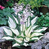 1 Starter Plant Hosta Fire and Ice in 2 Quart Square Pot