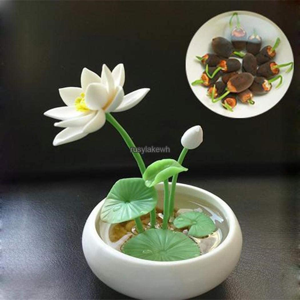 Rosso ASTONISH I semi della confezione semi di fiore Ciotola idroponica acquatico Seedss Mini Ninfea Semi RLWH