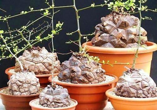 Amazon Com Dioscorea Elephantipes Rare Testudinaria Elephant Foot Yam Caudiciform 5 Seeds Garden Outdoor