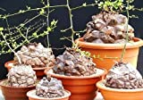Dioscorea Elephantipes rare Testudinaria elephant foot yam Caudiciform 5 seeds
