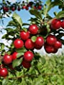 Homegrown Plum Seeds, 7, American Red Plum Tree