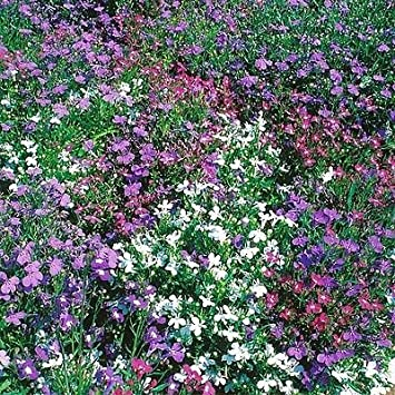 Multi Colour Bush Lobelia Bedding Plants Pack Of 24 Amazoncouk