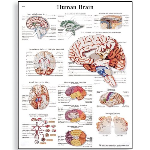 3B Scientific VR1615L Glossy Laminated Paper Human Brain Anatomical Chart, Poster Size 20 Width x 26 Height