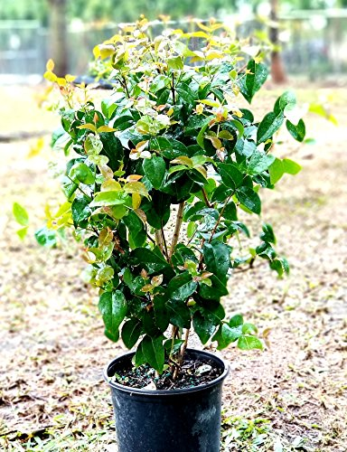 Eugenia uniflora, Cherry Hedge, Surinam Cherry - 1 Gallon Live Plant (Surinam Cherry)