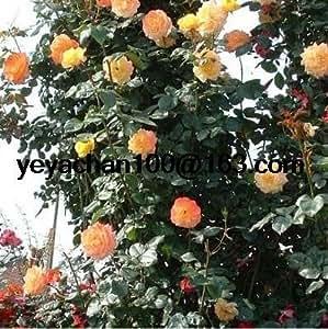 Rose semilla rara rosas de colores del Balcón de tiesto serie de semillas de flores 100PCS