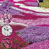 Home Decor Plants Flowers Seeds 100Pcs Mixed Color Phlox Paniculata Seeds Hummingbird Flower Garden Yard Decor - Phlox Paniculata Seeds