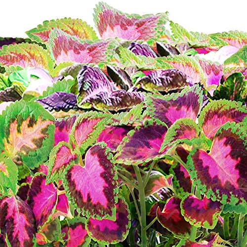61afkJAAOVL - Miracle-Gro AeroGarden Colorful Coleus Seed Pod Kit