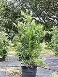 Starter Plant Podocarpus Macrophyllus Maki Yew Pine