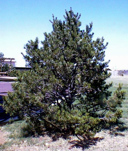 50 Pinyon Pine Tree Seeds, Pinus Edulis