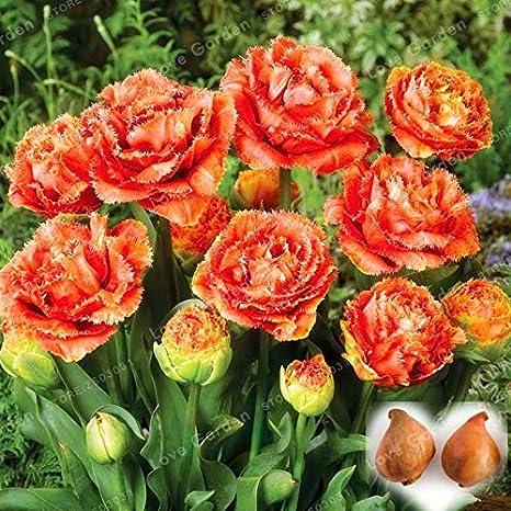 tulip/án Bons/ái flor de tulip/án planta de flor de tulipanes para plantas de jard/ín bulbos de flores simboliza el amor: multicolor Pinkdose 2 bulbos Verdaderos bulbos de tulip/án