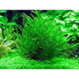 1 Bunch - Fontinalis Antipyretica Oxygenating Pond Plant