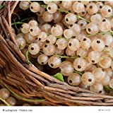Ribes sativum 'Weiße Langtraubige' - (Weiße Johannisbeere 'Weiße Langtraubige')- Containerware 40-60 cm