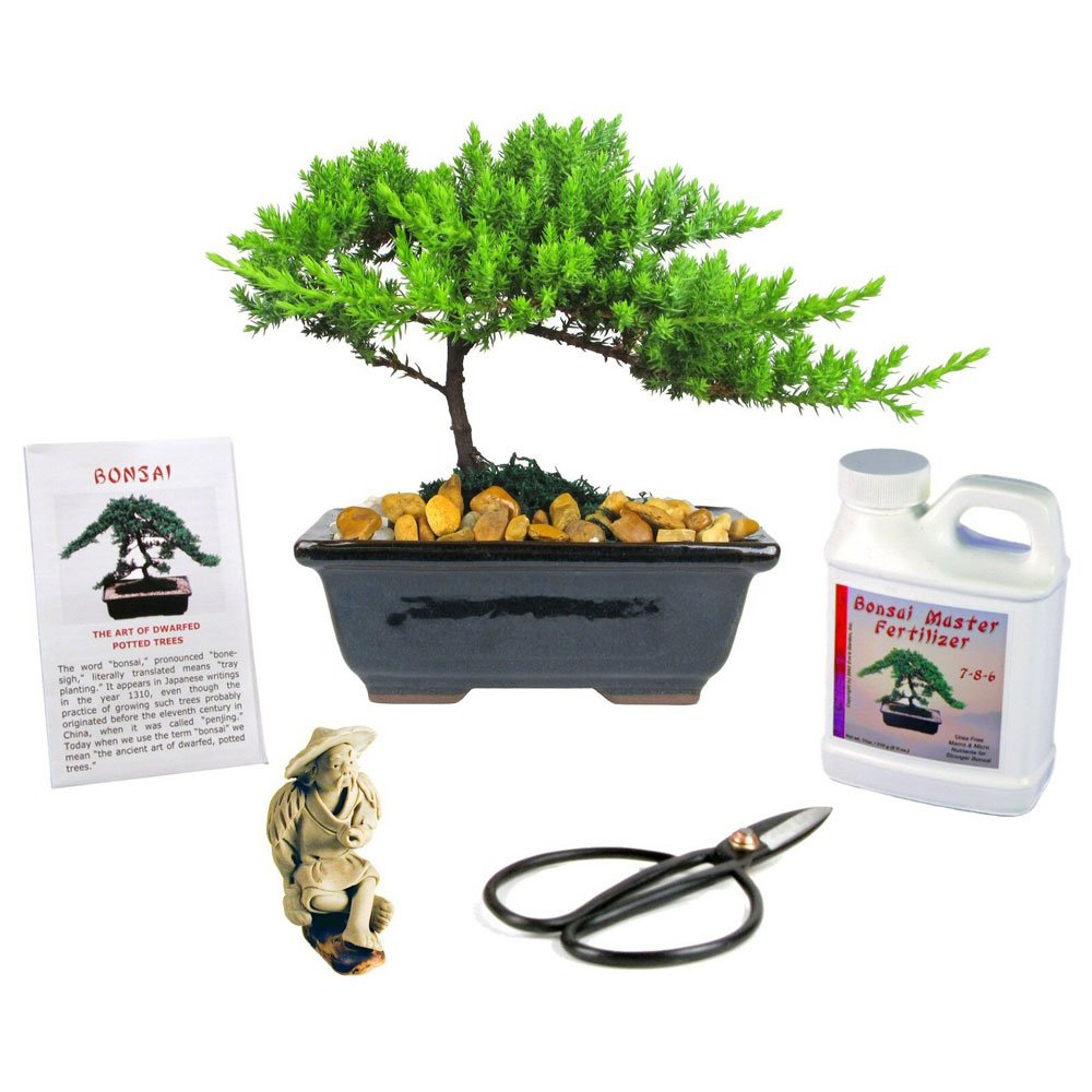 Eve's Small Japanese Juniper Bonsai Tree Gift Kit, 6 Years Old, Complete Bonsai Gift Kit Includes Fertilizer, Figurine, and Clippers, Beautifully Gift Wrapped, Outdoor Bonsai