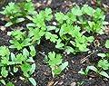 Asian Heirloom Cilantro (Coriander) Seeds by Stonysoil Seed Company