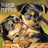 2016 Just Yorkie Puppies Wall Calendar