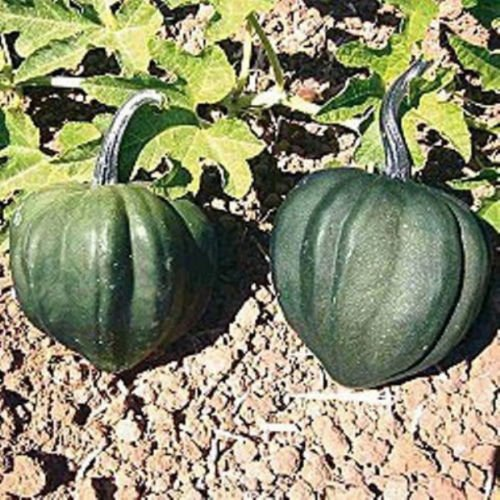 Tx books plants and more just launched on in for Table queen squash