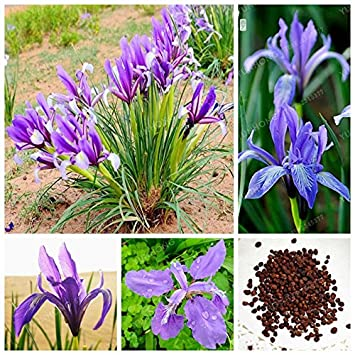 Chinese Iris Seeds 50 Pcs Sac Bleu Belle Fleur Plante Vivace