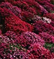 50+ Aubrieta Rock Cress Bright Red Perennial Flower Seeds / Ground Cover