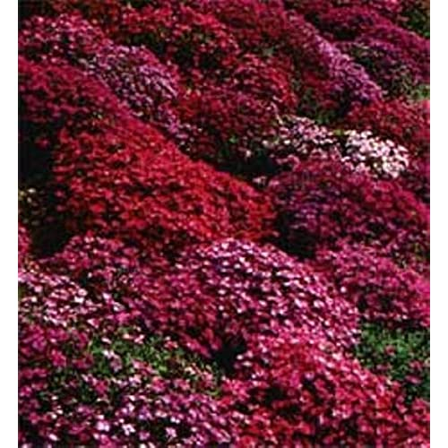 Perennial ground cover flowers amazon 50 aubrieta rock cress bright red perennial flower seeds ground cover mightylinksfo