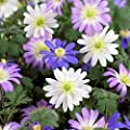 Blue, Pink, and White Anemone Blanda Flutter Mix - 20 Big Bulbs - 5/6 cm - GREAT Cut Flowers & Attractive to Butterflies!