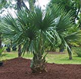 Sabal Minor Dwarf Palmetto Palm Tree | 2018 Fresh Crop | 100+ Seeds | Hardy to 7