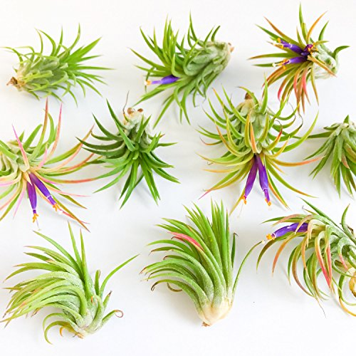 50 Pack Assorted Tillandsia Ionantha Rubra Air Plants - 30 Day Guarantee - Wholesale - Bulk - Fast Shipping - House Plants - Succulents - Free Air Plant Care Ebook By Jody James by The Air Plant Shop