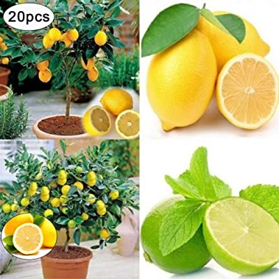 BLagenertJ Rare Lemon Tree Seeds, Home Garden Out Front Door Yard Hand Planting, Fruit Plant Seeds - 20 Pcs 20pcs : Garden & Outdoor