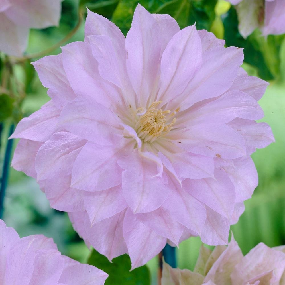 1 Starter Plant Belle of Woking Clematis in Quart Pot