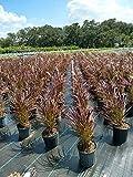 PlantVine Pennisetum advena 'Rubrum', Fountain Grass Red - 10 Inch Pot (3 Gallon), Live Plant - 4 Pack