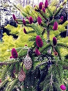 Las semillas de Abies, Corea del abeto, abeto de Nordmann (árbol de Navidad, conífera) semillas de árboles. Plantas de salón jardín de bonsáis y semillas Flores 100 Pcs 6