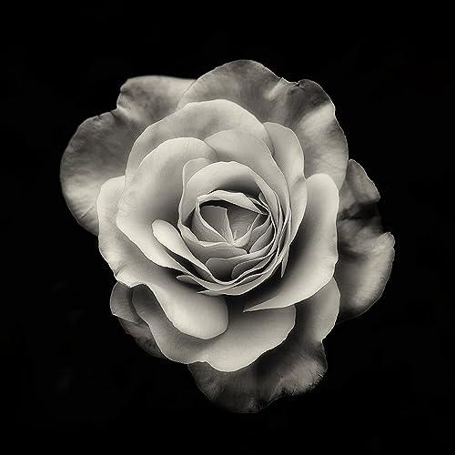 Amazoncom Flower Photography Rose Fine Art Black And White