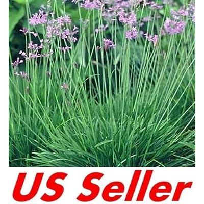 15 Seeds Society Garlic Seeds : Garden & Outdoor