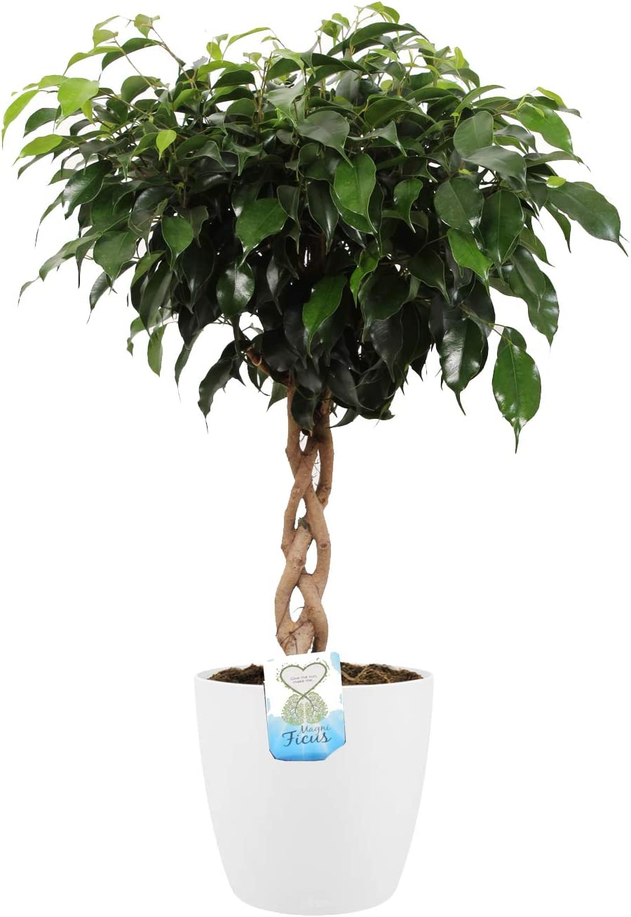 Planta de interior de Botanicly – Ficus de hoja pequeña en maceta blanca como un conjunto – Altura: 65 cm – Ficus benjamina