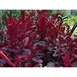 Garten-Fuchsschwanz Velvet Curtains - Amaranthus cruentus - 50 Samen