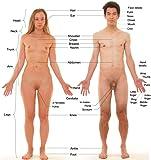 ラミネート24x 25ポスター: HumanメスとオスのAnterior表示、withラベル
