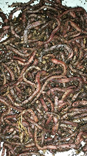 Bestbait.com European Nightcrawlers Composting Worms Live...