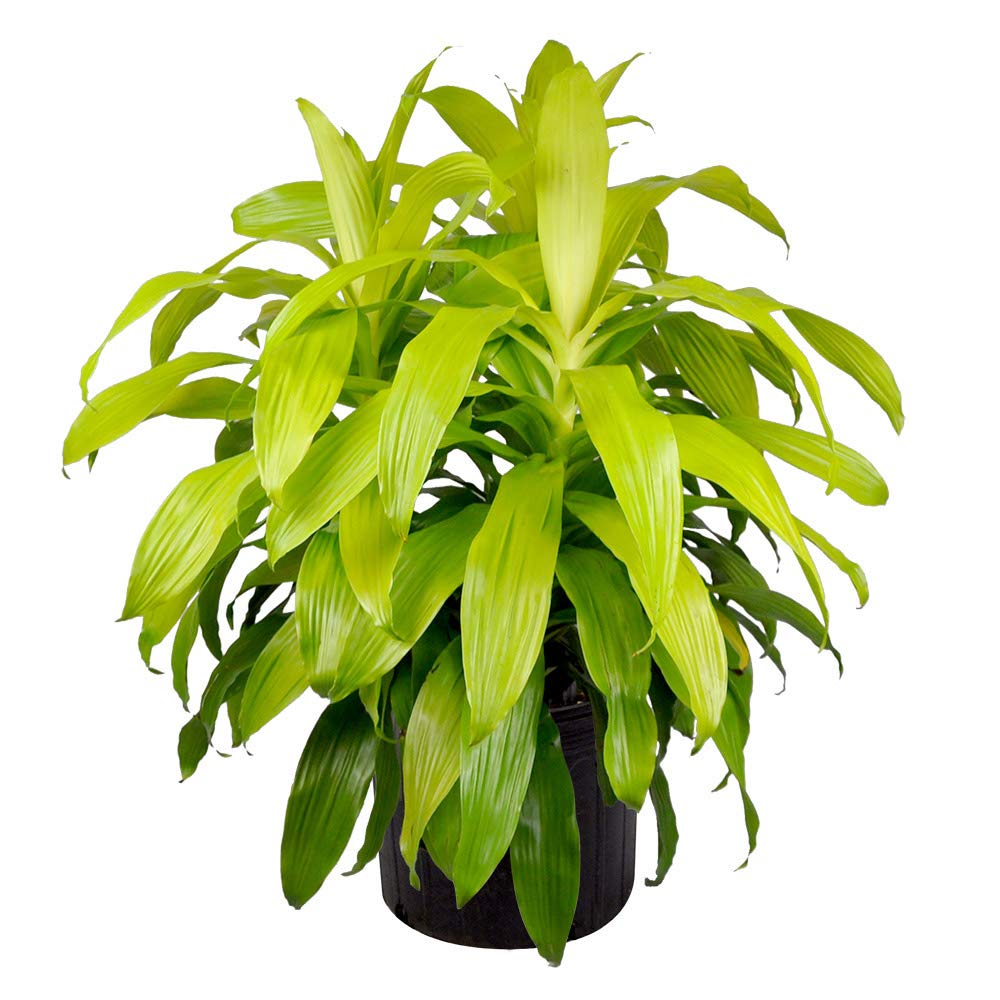 AMERICAN PLANT EXCHANGE Dracena Limelight XL Madagascar Dragon Tree Live Plant, 3 Gallon, Indoor/Outdoor Air Purifier