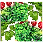 4 Packs x 1,500 CUTTING CELERY Seed - LEAF CELERY SEEDS - BOLD Celery FLAVOR For SOUP Stew SALAD..ETC - 80- 85 Days - By MySeeds.Co