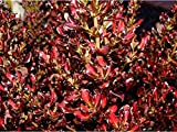 CROSO Seeds PACAKGE ONLY NOT Plants: Coprosma Pacific Sunset .Rare .Mirror Seeds.Shrub.Cms Seed