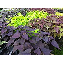 IPOMOEA SWEET POTATO VINE 6 PLANTS - STARTERS