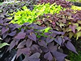 IPOMOEA SWEET POTATO VINE - MIX COLORS - 50 PLANTS - STARTERS